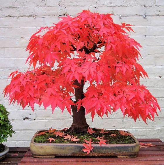bonsai plantas ornamentales